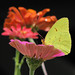 Cloudless sulphur in November zinnias by Vicki's Nature
