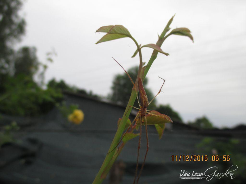 1 Cô Nàng chân dài đang có ở vườn, ban ngày chúng ẩn mình bên dưới lá hồng đến đêm đến mới chăng tơ bắt mồi