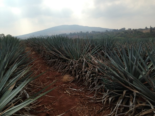 Jalisco Agave Fields