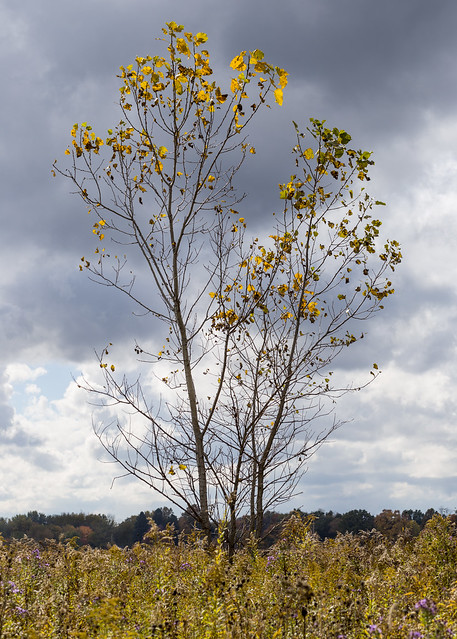 Tree on Clouds Study