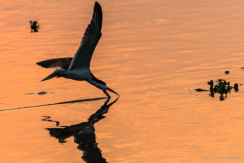 bird nature animals silhouette brasil fauna sunrise golden flora natureza ngc ave animais matogrosso pantanal animalia blackskimmer talhamar thelmagatuzzophotography© thelmagatuzzo© ynchopsniger