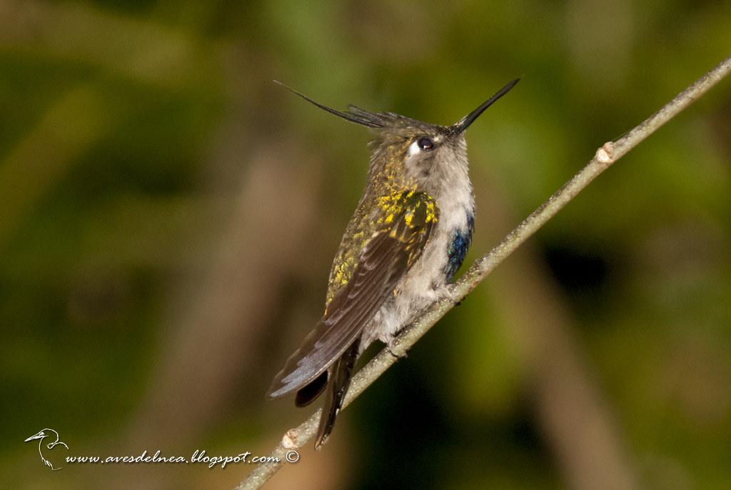 Picaflor copetón (Black breasted-Plovercrest) Stephanoxis lalandi