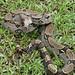 Boa constrictor - Photo (c) Dick Culbert, algunos derechos reservados (CC BY)