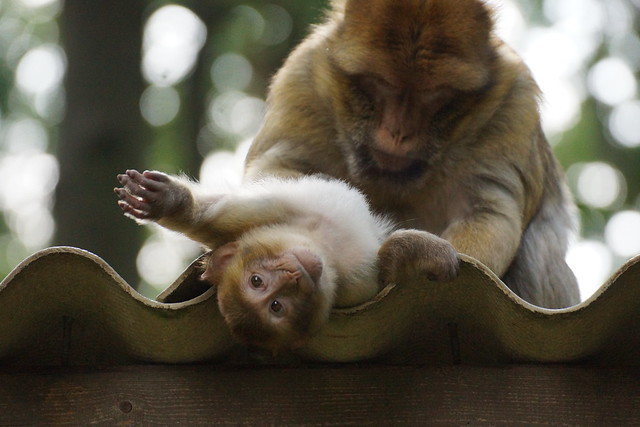 okrakaro - two monkeys on the roof - Barbary Macaques - Berberaffen