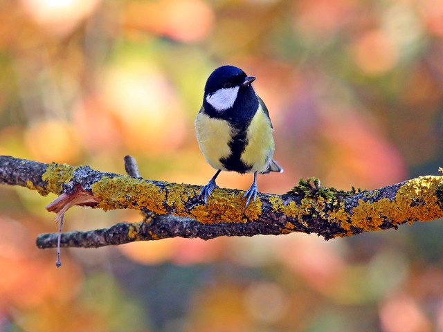 Martin Fischhaber - Great tit with autumnal bokeh (Explore)