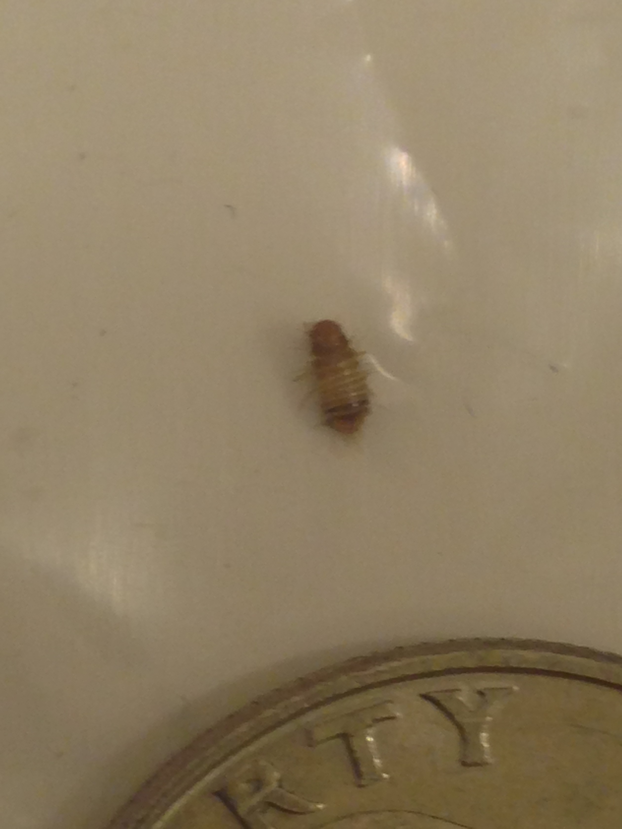 Bed Bug Larvae Remains