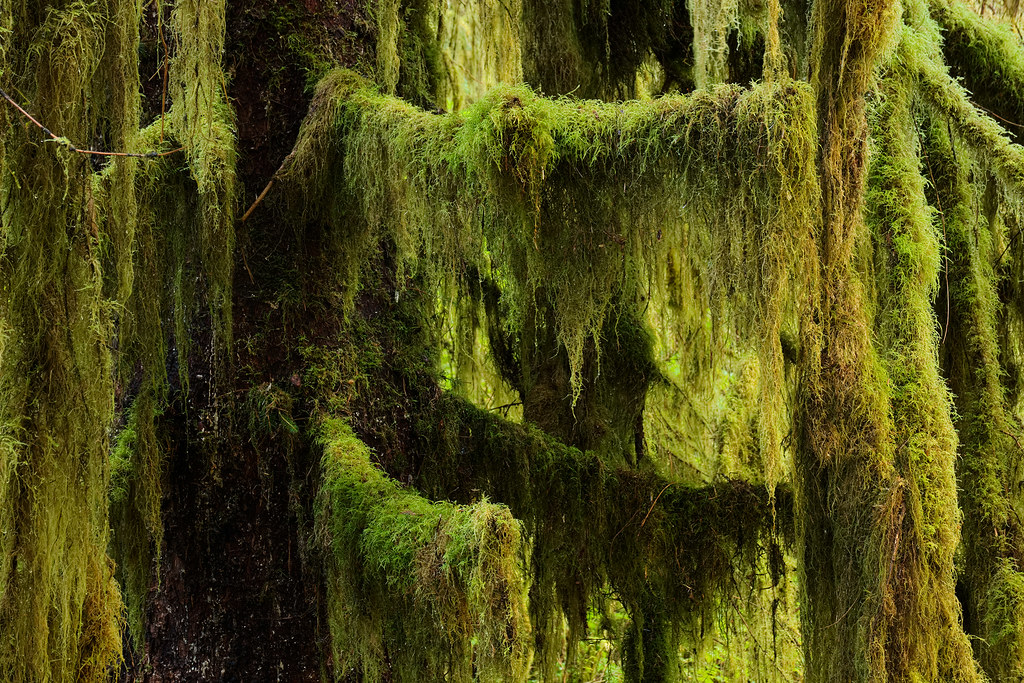 A tree is covered in moss and lichens in the Hoh Rain Forest