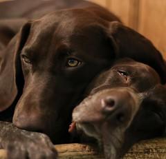 dog breed, animal, dog, pet, snout, mammal, weimaraner,