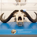 Small photo of African Buffalo Skull