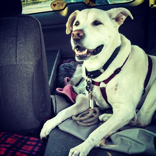 He's so stinking HAPPY! On our way to the vet... #dogstagram #instadog #seniordog #ilovemyseniordog #happydog #smile #love #ilovebigmutts #ilovemydogs #megaesophagus #smiling #carride