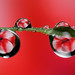 Impatiens dewdrop refraction #2