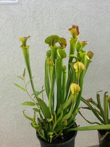 flava whole plant