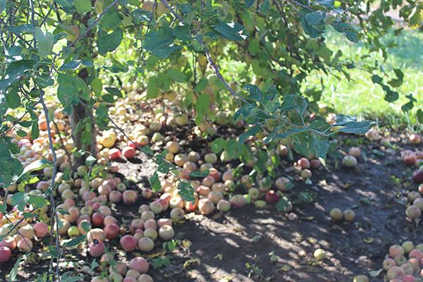 apple-picking 014