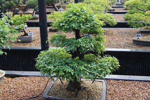 Chinese Elm bonsai  (height 56 cm), informal upright style