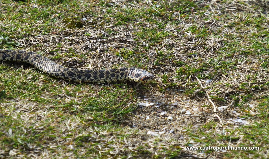 Nos pegamos un susto morrocotudo con esta serpiente