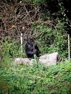 Gorilla, Bristol Zoo