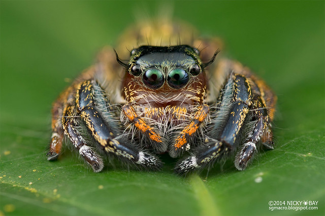 Jumping spider (Salticidae) - DSC_6674