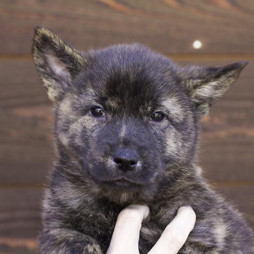 Nori-Litter2-47Days-Puppy1(male)a