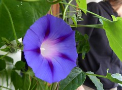 ipomoea alba(0.0), annual plant(1.0), ipomoea violacea(1.0), flower(1.0), purple(1.0), plant(1.0), flora(1.0), morning glory(1.0), petal(1.0),