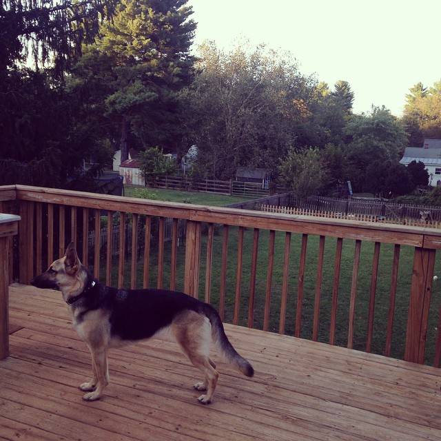 Stance #prettypyrrha #germanshepherd #autumnnights