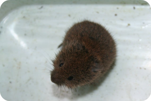 The Thrifty Magpies Nest: Wildlife Wednesday: Baby field vole