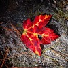 Red leaf #igdcwhp #whpontheroad #fall