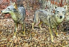 Greece Macedonia Drama region Paranesti natural history museum wolves