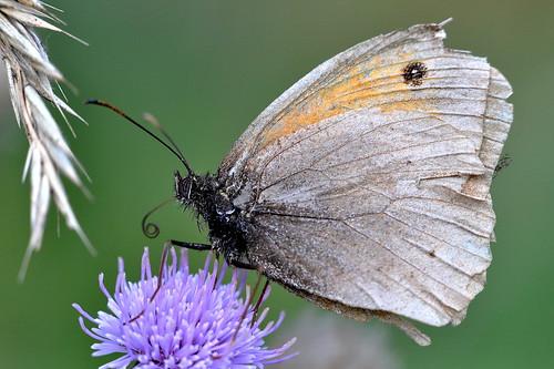 brown macro nature butterfly nikon natur meadow butterflies d90 hona maniola jurtina slåttergräsfjäril