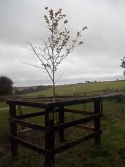 Thlayli's tree