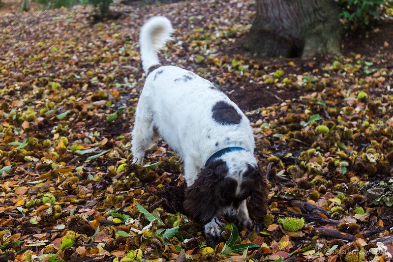 Sweet Chestnut forage