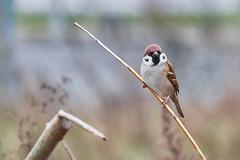 animal, sparrow, branch, fauna, close-up, beak, twig, bird, wildlife,
