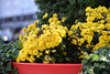 Yellow Flowers @ Dundas Square