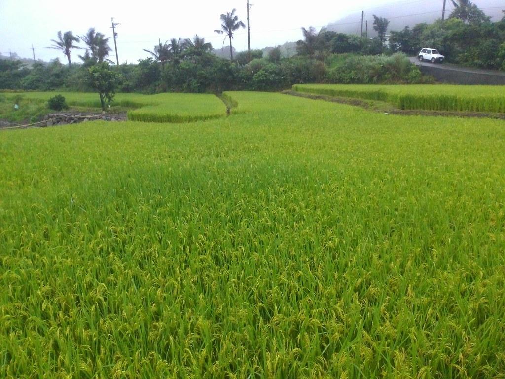 肥料灑較多的下田區,稻田看起來有波浪起伏,青黃分布不均