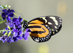 Tiger-mimic Queen Butterfly