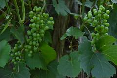 Grappe de raisins verts