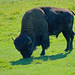 Buffalo Meadow @ Le Parc Omega by Jeannot7