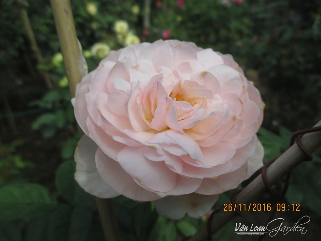 gentle hermione rose (4)-vuonhongvanloan.com