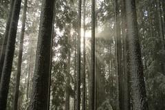 Sunbeams through trees