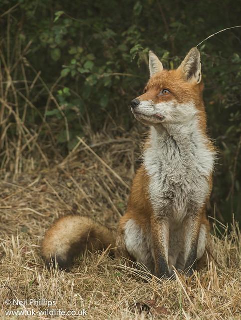 Red fox-7
