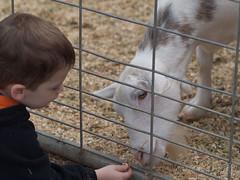 Feeding Goat