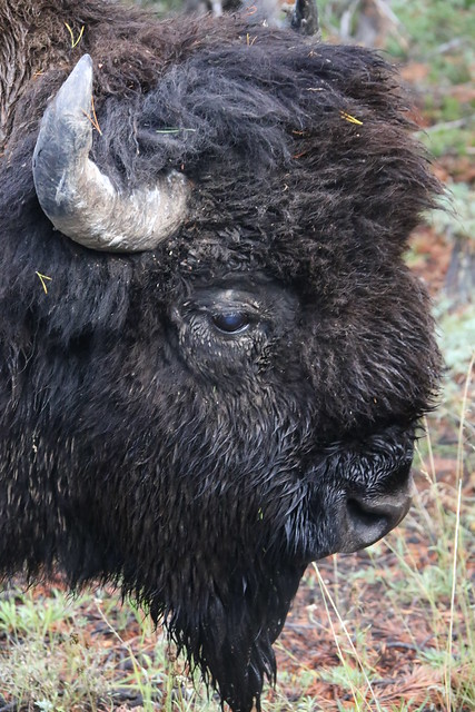 Literally a bison 2 feet from the drivers window.  Yellowstone NP, Wyoming US.