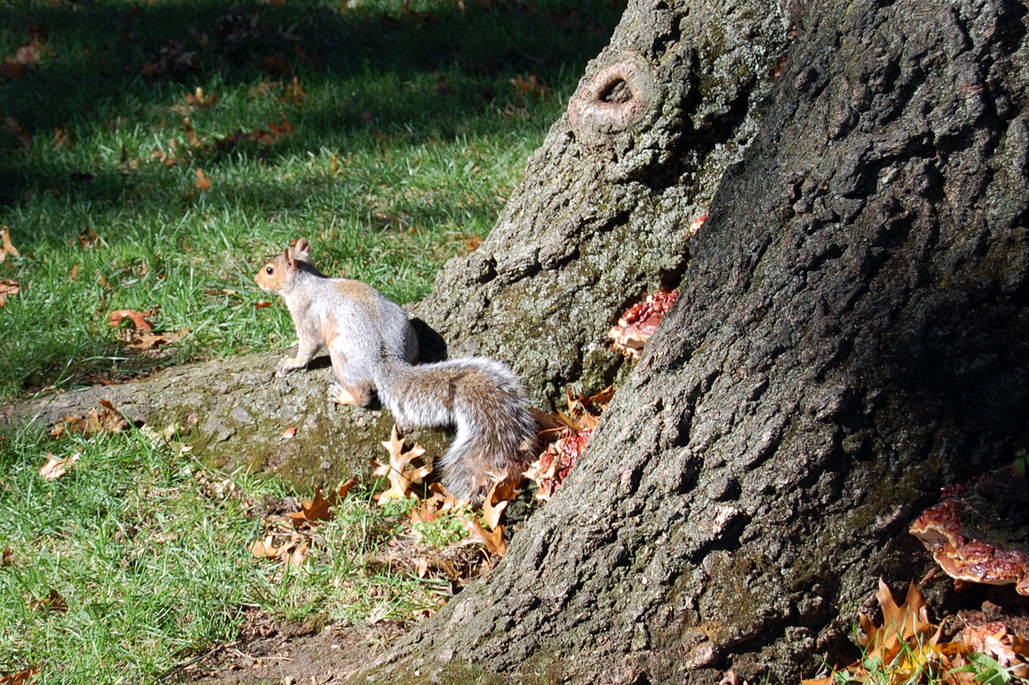 HarvardSquirrel