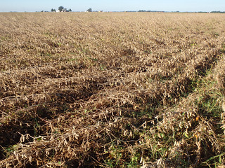 Picture of a flattened soybean field