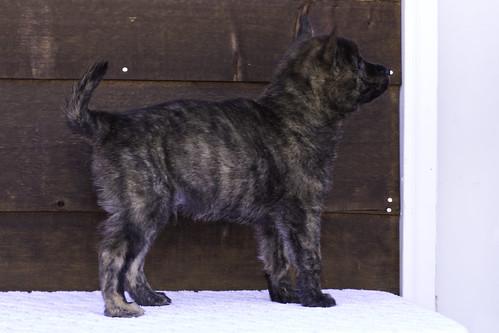 Nori-Litter2-47Days-Puppy1(male)d