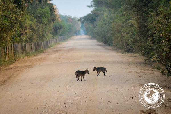 Foxes in the Pantanal