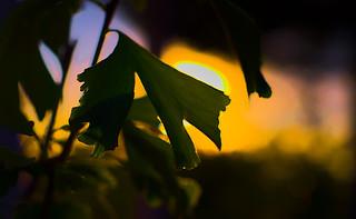 Zen Twilight, Ginkgo