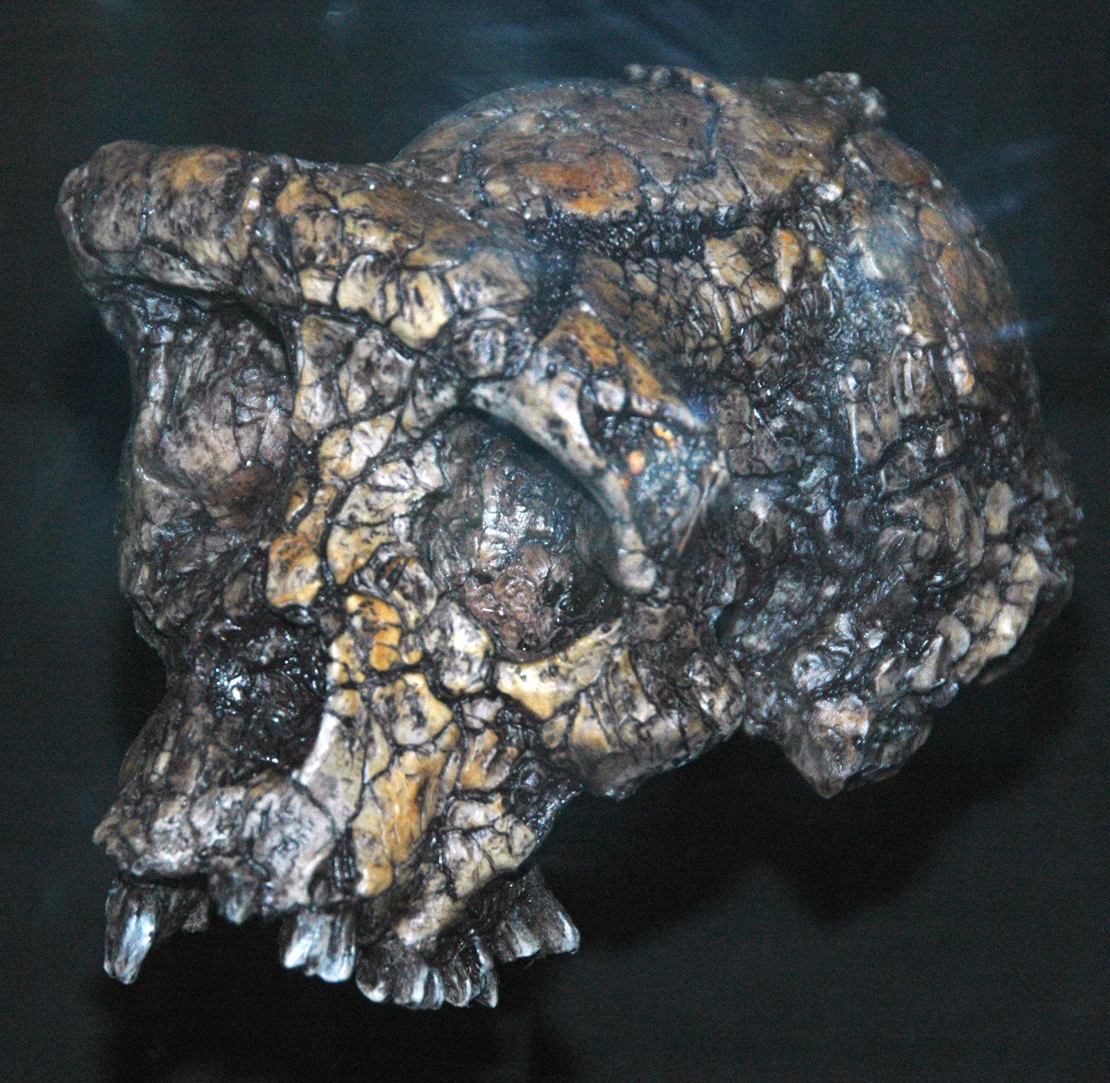Sahelanthropus tchadensis fossil hominid (Upper Miocene, 6-7 Ma; Toros-Menalla, Djurab Desert, northwest-central Chad, northern Africa)