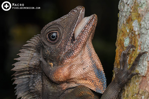Great Angle Head Lizard- Gonocephalus grandis ♂