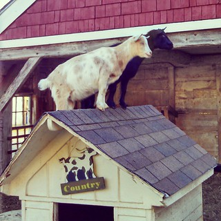 Ice cream with a side of entertainment! #BeechHillFarm #newhampshire #goats #farmanimals #fall #newengland #farm