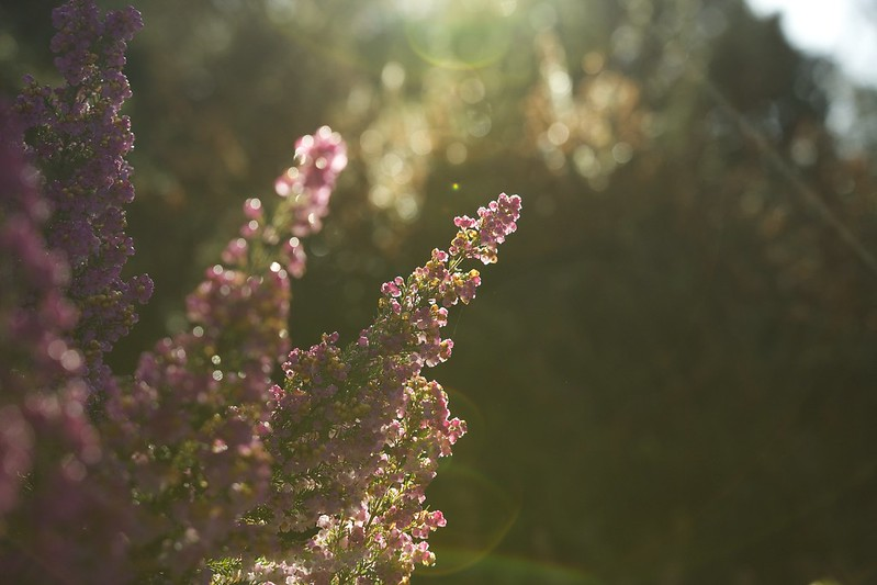 © Amie Whiting_2014_Winter Morning Heather Garden_07